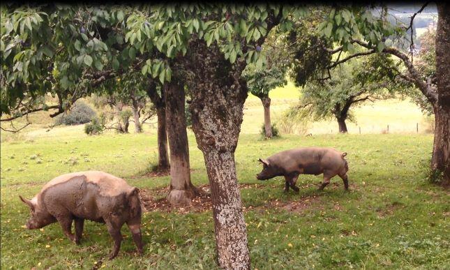Schweinegarten1